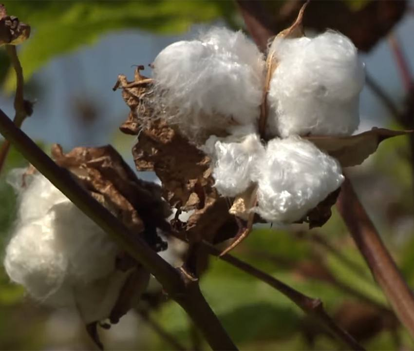Sea Island Cotton in Barbados